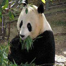 panda eating grass
